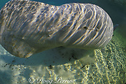 Florida manatee, Trichechus manatus latirostris, female, showing position of genital opening (much closer to anus than on male), Blue Spring State Park, near Orange City, Florida, USA, North America