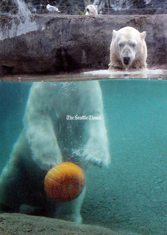 Blizzard, one of four polar bears at the Point Defiance Zoo & Aquarium, demonstrates his pumpkin dribbling ability during Zoo Boo. Blizzard is able to excellently bounce the pumpkin with any of his four paws off the bottom of his pool before chomping down. <br /> Alan Berner / The Seattle Times