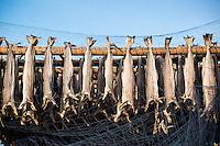 Cod stockfish hanging to dry, Lofoten Islands, Norway