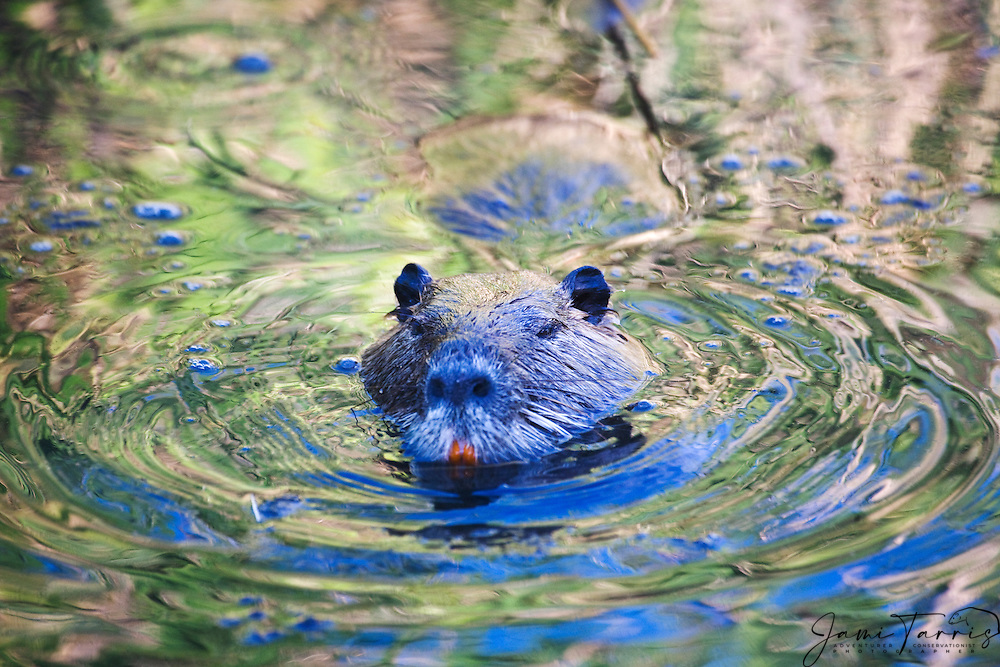 A coypu or nutria (Myocastor coypus) swims across a canal reflecting yellow lilies in bloom , La Camargue, Provence, France