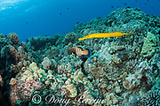 Pacific trumpetfish or nunu, Aulostomus chinensis, in yellow color phase, partners with a peacock grouper, or roi, Cephalopholis argus, to improve its hunting success, Makako Bay, Keahole, North Kona, Hawaii, USA ( Central Pacific Ocean )