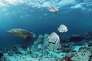 green sea turtle, Chelonia mydas, and a school of batfish, Platax sp., swims over a shallow reef, Sipadan Island, off Borneo, Sabah, Malaysia ( Celebes Sea / Western Pacific Ocean )