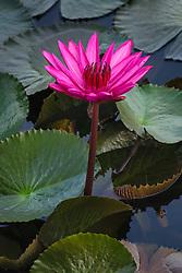 Water Lily, magenta #5 vert