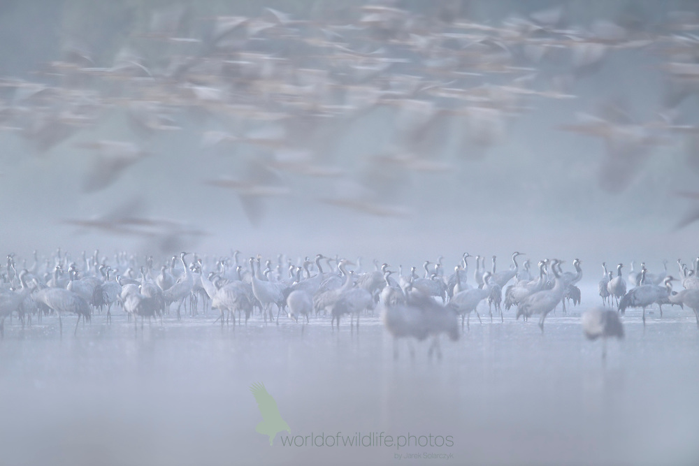 Cranes in the foggy morning
