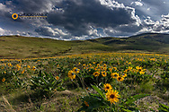 Arrowleaf balsomroot in the hills at the National Bison Range in Moiese, Montana, USA