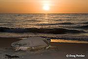 Australian flatback sea turtle, Natator depressus, female returning to ocean after nesting, Crab Island, off Cape York Peninsula, Torres Strait, Queensland, Australia