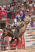 Bareback rider Tyler Scales of Severance, Colorado hangs on to Little Dougy at the Cheyenne Frontier Days rodeo at Frontier Park Arena July 24, 2015 in Cheyenne, Wyoming. Frontier Days celebrates the cowboy traditions of the west with a rodeo, parade and fair.