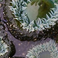 Sea anemones on the coast in Olympic National Park, Washington.