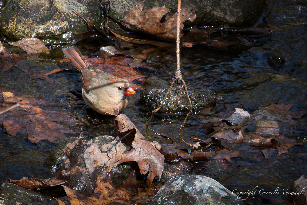 A female Northern Cardinal pauses her busy spring chores to get some water in the Ravine of Central Park.