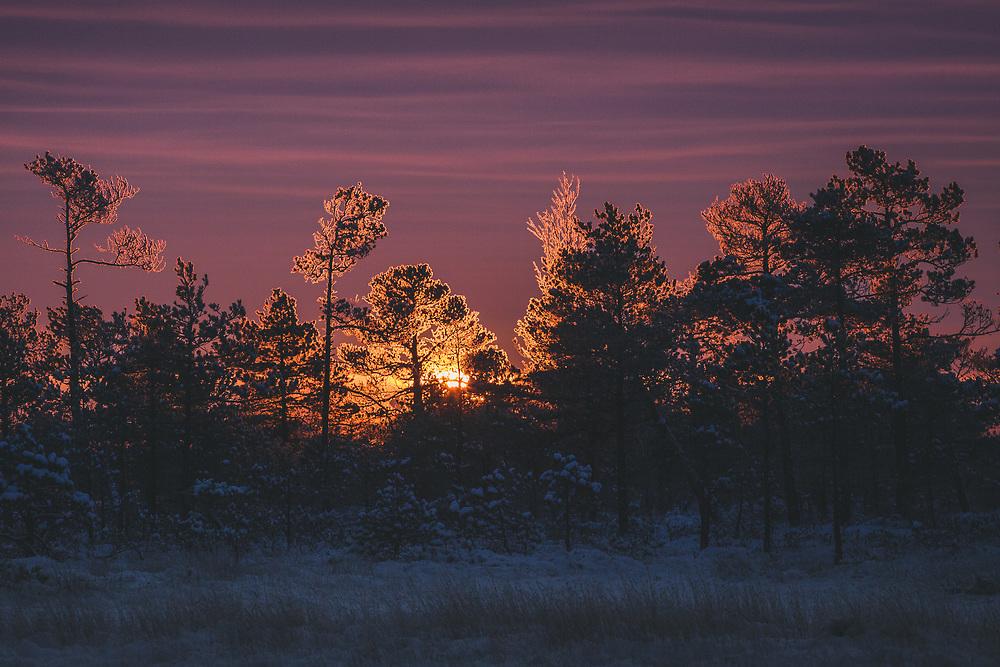 A group of frost covered scots pines (Pinus sylvestris) in raised bog against rising sun and dark clouds, Kemeri National Park (Ķemeru Nacionālais parks), Latvia Ⓒ Davis Ulands | davisulands.com