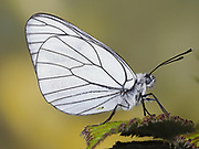 Black veined white butterfly (Aporia crataegi), stacked focus image, UK, controlled situation