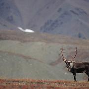 Barren Ground Caribou, (Rangifer arcticus) Bull on autumn hued tundra. Alaska. Fall.