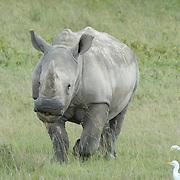 White rhinoceros of lake Nakuru, Kenya.
