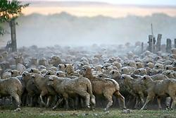Ovelhas nos campos de Paysandú, no Uruguais. FOTO: Eduardo Rocha / Preview.com
