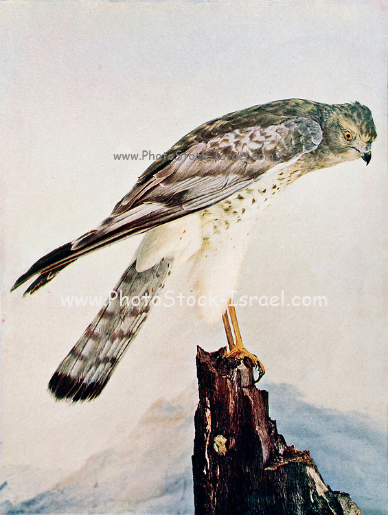 Circus hudsonius (northern harrier [Here as Marsh Hawk]) is a bird of prey. It breeds throughout the northern parts of the northern hemisphere in Canada and the northernmost USA. From Birds : illustrated by color photography : a monthly serial. Knowledge of Bird-life Vol 1 No 5 May 1897