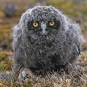 Snowy owl (Bubo scandiacus) downy-feathered chick with mosquitos around its eyes. Barrow, Alaska