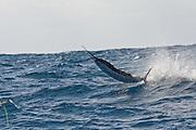 Jumping Atlantic Sail Fish.