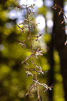 I've encountered these unusual terrestrial orchids in many places along the Apalachicola River. Local terrain and locations include heavily wooded hills, steep ravines, and near creeks cutting through limestone or packed clay. American beech and magnolia trees are always in abundance, as well as the ever-present poison ivy.