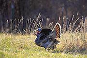 Male Merriam's turkey displaying in habitat