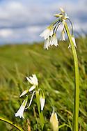 small white coastal flower at Bandon Oregon