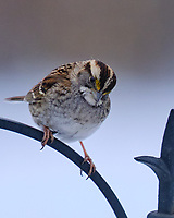 White-throated Sparrow (Zonotrichia albicollis). Image taken with a Fuji X-T3 camera and 200 mm f/2 OIS lens with a 1.4x teleconverter.