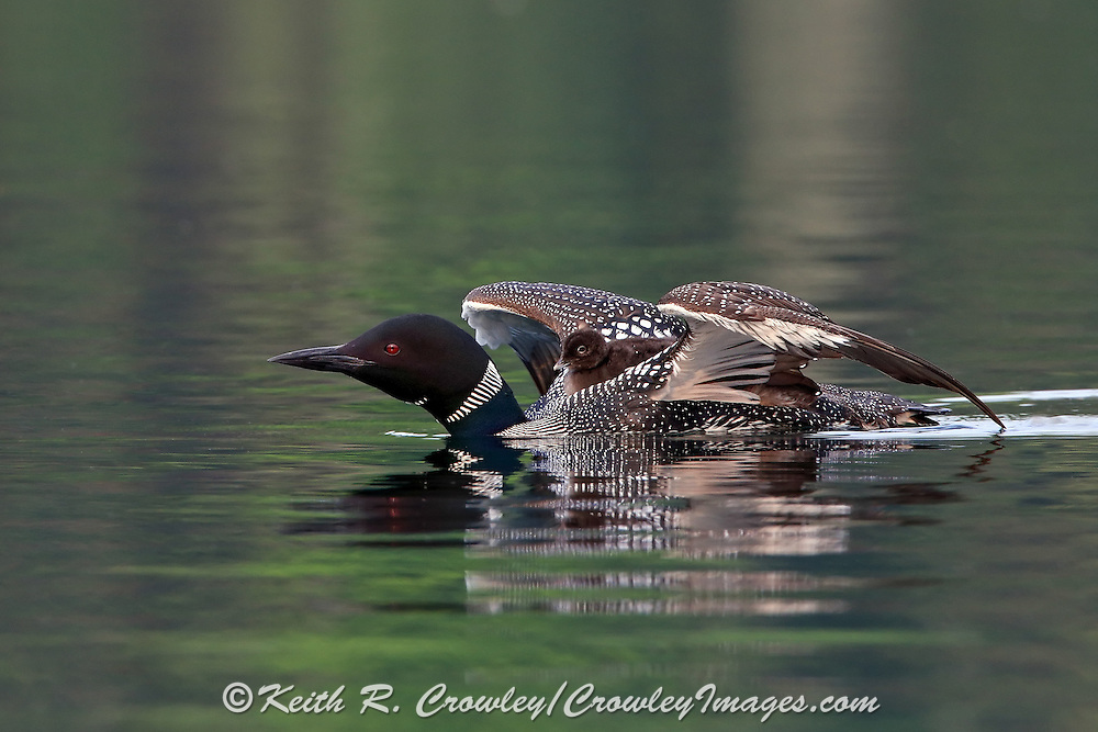 Common Loon with Chick on Its Back Stretches Its Wings