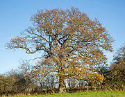 Oak tree, Quercus Robur, autumn leaf blue sky Suffolk Sandlings AONB, England, UK