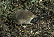 Common Shrew Sorex araneus Length 9-14cm Lives mainly in ground cover or underground, and hence easily overlooked. Leads a frenetic life, its search for invertebrate food seemingly never ending. Adult has velvety fur, dark brown above, with buffish flanks grading to greyish white on underparts. Head extends to a pointed, whiskered snout. Eyes are tiny and beady eyes and ears are small. Tail is relatively short compared to Pygmy Shrew. Utters high-pitched squeaks and shrill screams. Widespread and common in hedgerows, grassland and woodland margins.