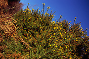 A293JD Gorse bush with yellow flowers and bracken against blue sky Suffolk Sandlings England