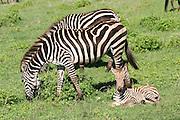 Africa, Tanzania, Ngorongoro Ngorongoro Conservation Area (NCA) Female Zebra and young calf