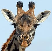 Close-up portrait of a female Masai giraffe (Giraffa camelopardalis tippelskirchii). Sinya Wildlife Management Area, Tanzania.