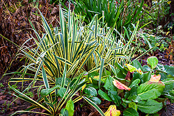 Bergenia 'Overture' with Yucca filamentosa 'Bright Edge' AGM