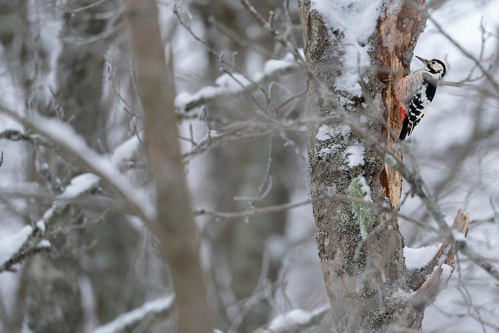 White-backed woodpecker female, Dendrocopos leucotos, Stora Tuvan nature reserve, Umea, Vasterbotten, Sweden