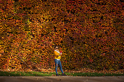 © Licensed to London News Pictures. 13/11/2020. LONDON, UK.  A woman takes a selfie in front of the colourful display of Virginia Creeper which covers the wall of the Admiralty Citadel, a former Second World War fortress, in Horse Guards Parade adjacent to St. James's Park.  Photo credit: Stephen Chung/LNP