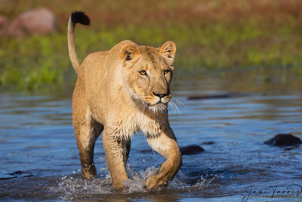 A female lioness walking through the water, (Panthera leo), Kalahari Desert, Botswana Africa