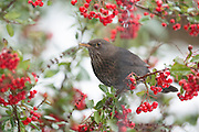 Female blackbird perched in a Pyracanths bush, amongst berriesm against a backdrop of snow.