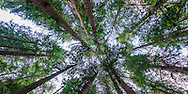 Redwood Trees, Muir Woods National Monument, Marin County, California