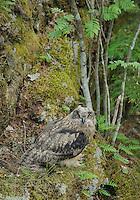 Eagle owl chick, Bubo bubo, Morko, Sormland, Sweden