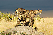 Cheetah with four cubs on mound with a beautiful African Savanna background in golden light.
