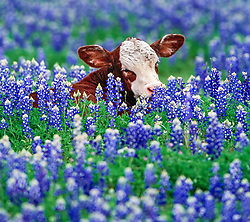 Calf in bluebonnets, Willow City Loop, Texas