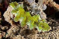 Colorful Ceratosoma Nudibranch<br /> <br /> shot in Indonesia