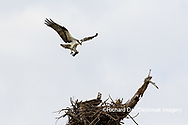 00783-01802 Osprey (Pandion haliaetus) in flight to nest with food Cruickshank Sanctuary - Brevard County, FL