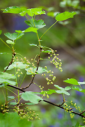 Wild Red Currant. Ribes rubrum