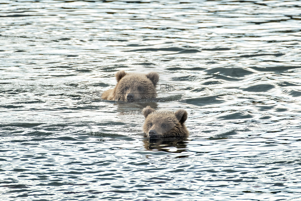 Brown Bear cubs swim together in the lower Brooks River in Katmai National Park and Preserve September 16, 2019 near King Salmon, Alaska. The park spans the worlds largest salmon run with nearly 62 million salmon migrating through the streams which feeds some of the largest bears in the world.