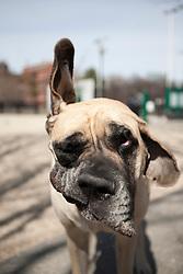 Mastiff Dog Shaking Ears