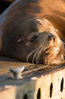 California Sea Lion (Zalophus californianus) on dock.