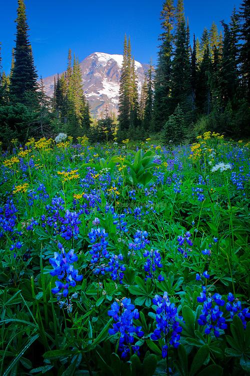 Wildflower meadow in the Tatoosh Range in Mount Rainier national park, Washington