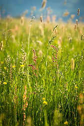 Meadow grasses and common sorrel - Rumex acetosa