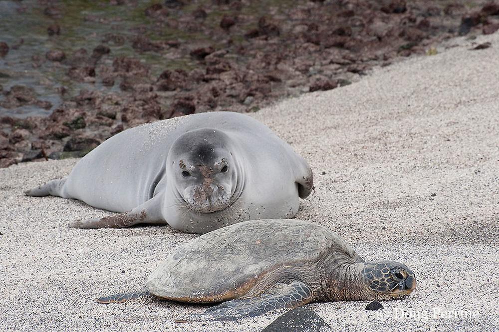 Hawaiian monk seal, Monachus schauinslandi ( Critically Endangered ), 2.5 year old male resting on beach during annual molt, checks out a small green sea turtle, Chelonia mydas, sharing the beach with it at Pu'uhonua o Honaunau ( City of Refuge ) National Historical Park, Kona, Hawaii ( the Big Island )
