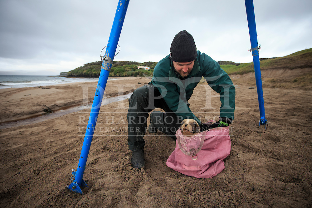 Thomas Burns from the New Zealand Sea Lion Research programme retrieves a Phocarctos hookeri (New Zealand Sea Lion) pup to be weighed before being tagged and microchipped at the Sandy Bay colony, Enderby Island, Auckland Islands, New Zealand. Tagging enables scientists to keep a track of movements and estimate population numbers.<br /> 16 January 2016. <br /> Photograph Richard Robinson © 2016